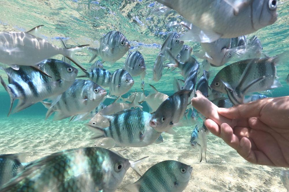 魚肉ソーセージに集まる魚