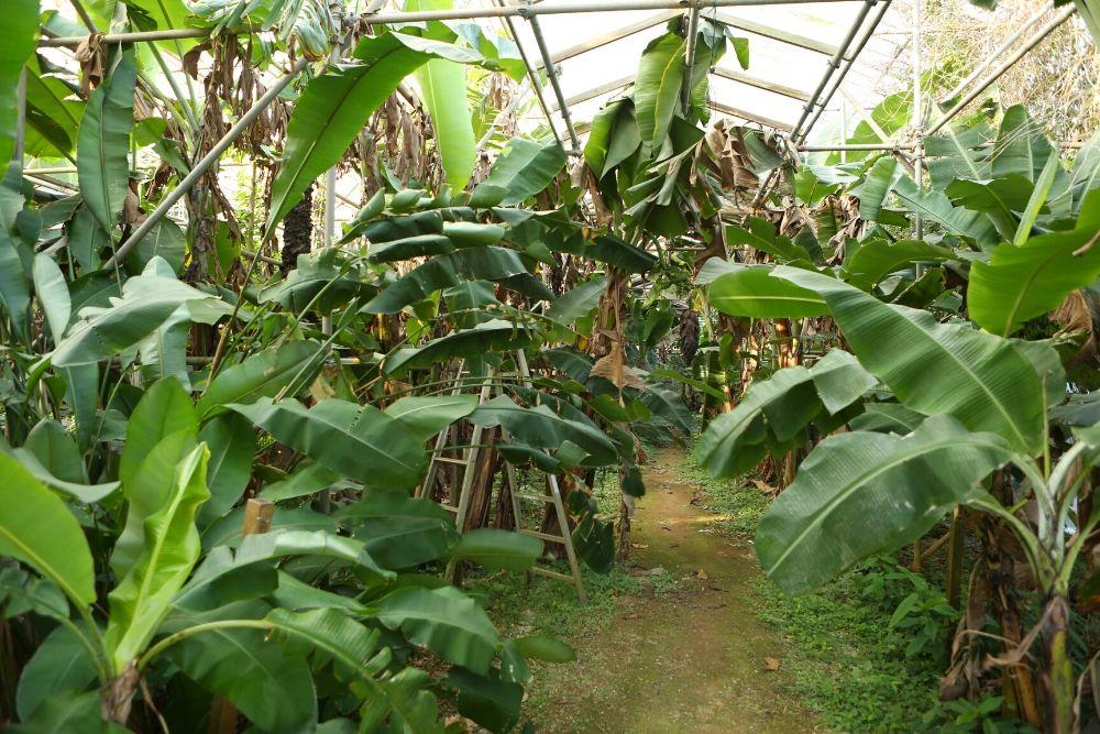 むらさきむらのバナナ園