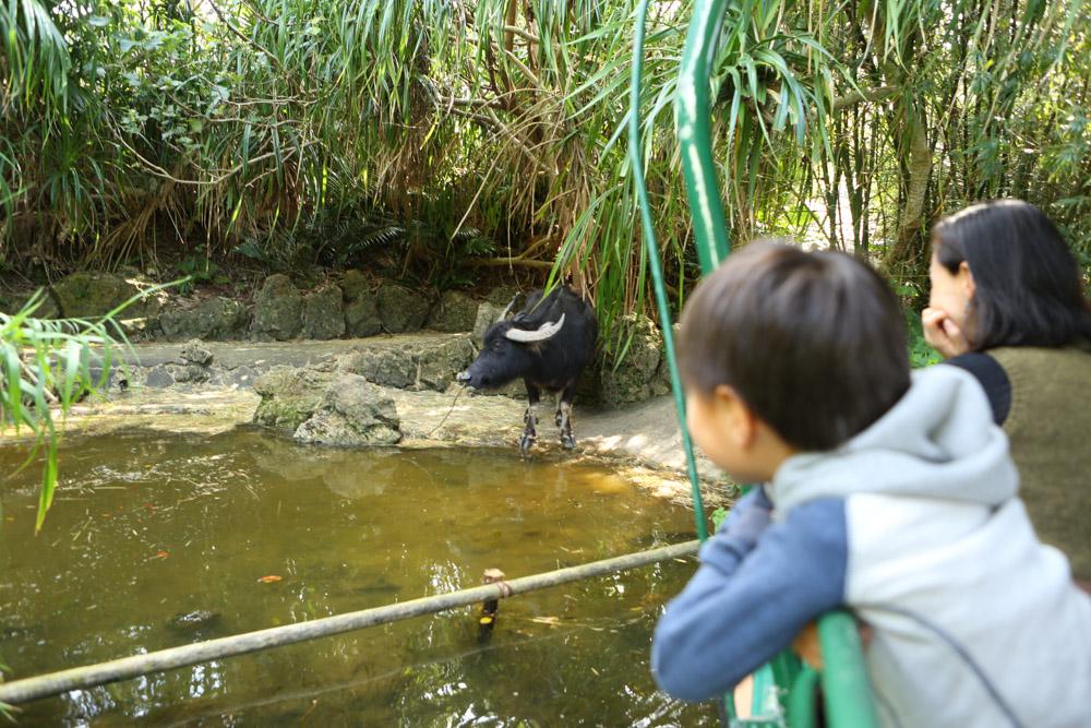 ジャングルクルーズで水牛を見る