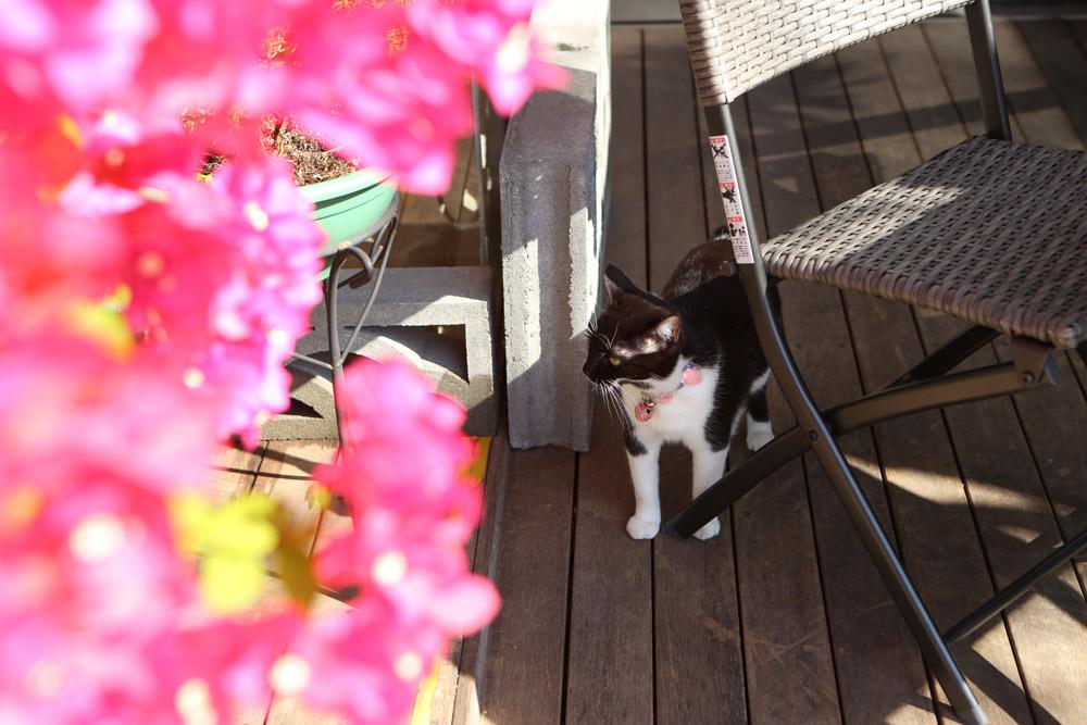 ブーゲンビリアと猫