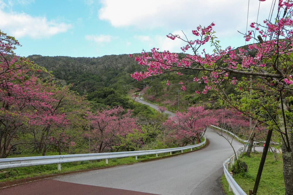 本部八重岳桜祭り