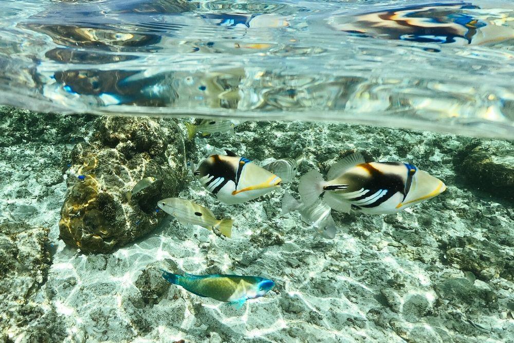 瀬底ビーチのムラサメモンガラ