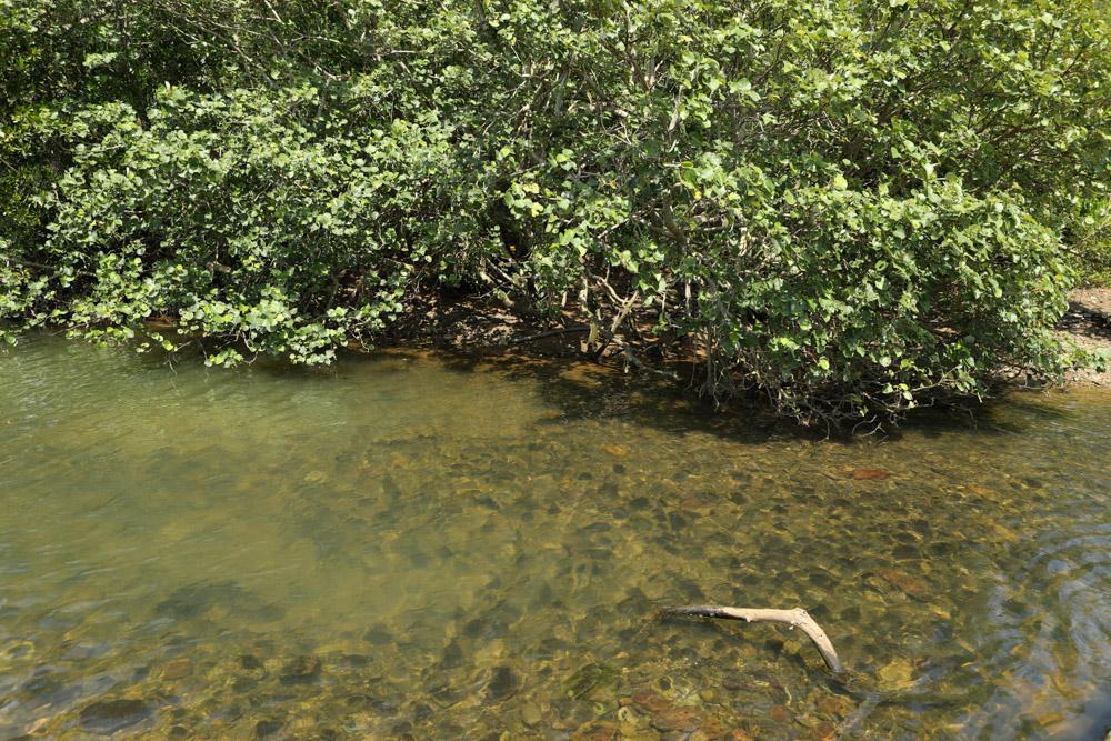 大浦湾のマングローブ