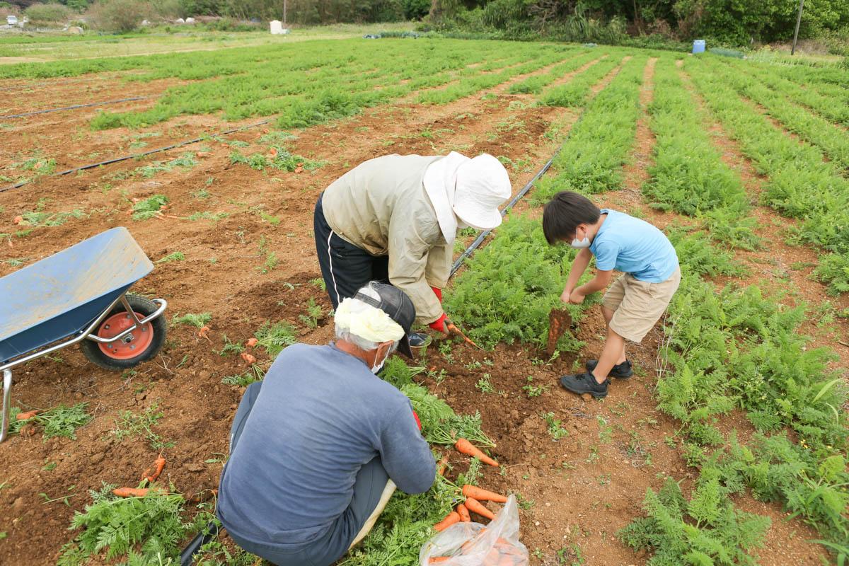 にんじんの収穫
