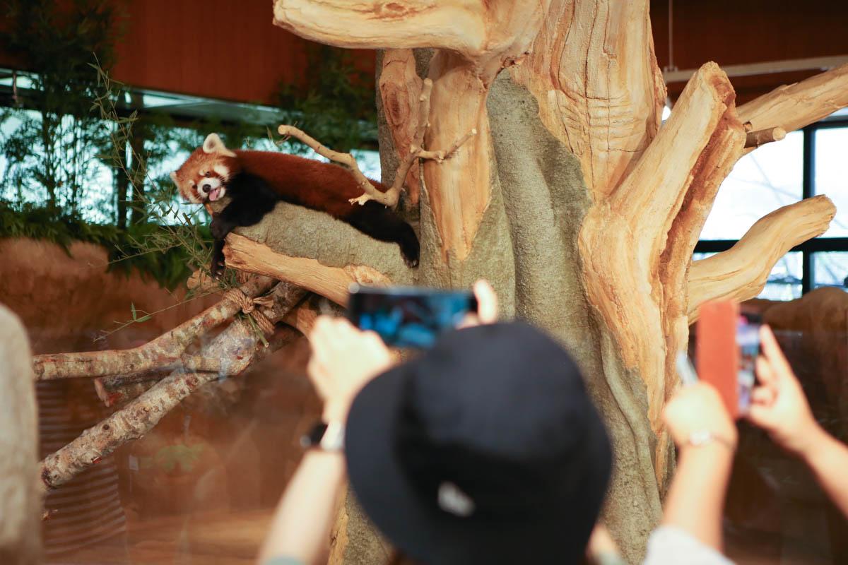 レッサーパンダに群がる観光客